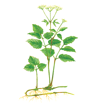 Ground Elder